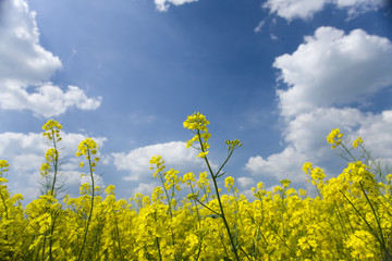 Close up of yellow flowers against cloudy sky