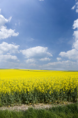 Field of yellow flowers and cloudy sky