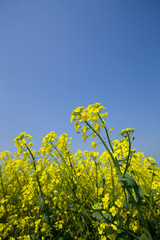 Close up of yellow flower against blue sky