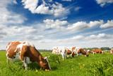 Fototapety Cow