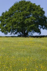 Tree and field of yellow flowers