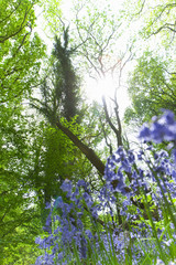 Close up of bluebell flowers with trees in background