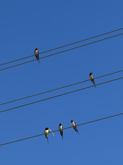 Swallows are sitting in wires