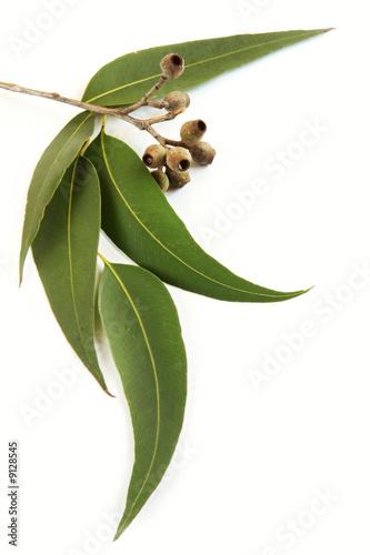Poster Oceanië Gum leaves and gum nuts