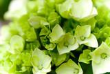 Fototapeta zielony - liść - Kwiat