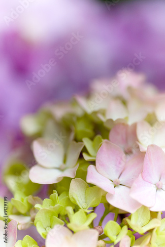Hydrangea Nortensi with soft colors