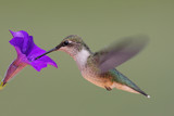 Juvenile Male Ruby-throated Hummingbird poster