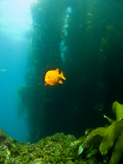 Garibaldi swimming out of the Kelp in Avalon Catalina
