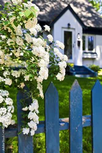 Blue picket fence with bridal wreath shrub and residential house