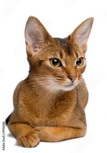 Abyssinian cat on a white background