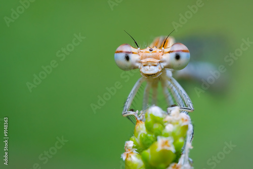 Smiling Damselfly
