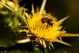 cardo selvatico con ape poster