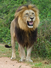 The Big Male Lion Sneers at the photographer
