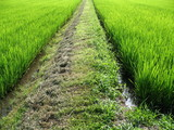 Pathway in the middle of a green field in Japan poster