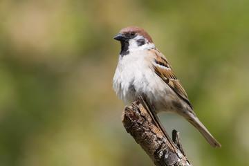 bird - tree sparrow (aka passer montanus)