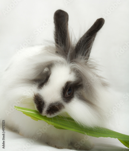 Leinwandbild Motiv Dwarfish rabbit eats green leaf..