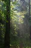 Misty forest at morning with illuminated spruce branch poster