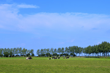 Dutch cows in landscape in summer