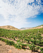 landscaped for vineyard and white clouds in blue sky