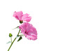Fototapete Pflanze - Rosa - Pflanze