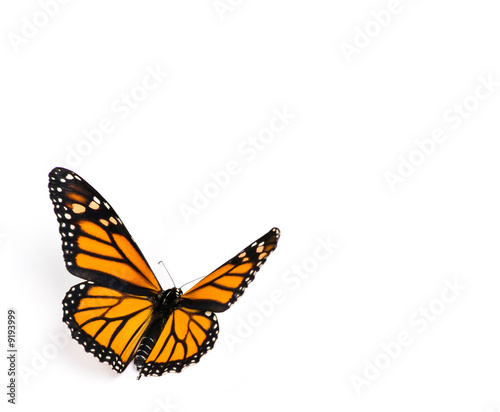 Deurstickers Vlinder Monarch Butterfly on White Background