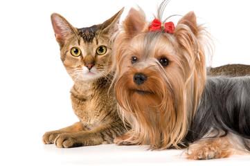 The terrier and cat in studio