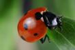 Red seven-spot ladybird  (Coccinella septempunctata)