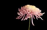 Fototapeta Chrysantheme von der Seite mit Textfreiraum