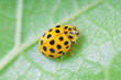 Detail of yellow ladybird  (Psyllobora vigintiduopunctata)