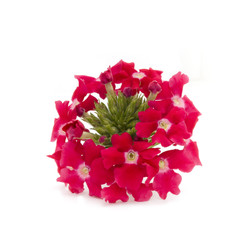 red verbena flower isolated on white background