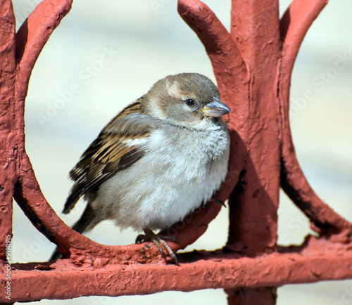 The chubby sparrow sits on a red fencing having rest