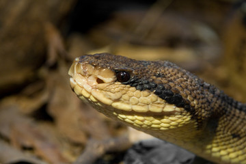 the poisonous brown viper in the woods