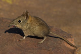 Elephant Shrew on rock with open mouth and bent snout poster