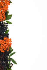 border of elderberry and ashberry