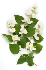 White jasmin flowers isolated on white