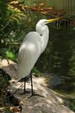 Great egret (ardea alba) common to Florida poster