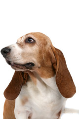 studio portrait of a basset hound looking off to the side
