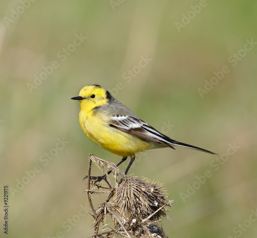 Yellow wagtail. Russian nature, wilderness world.