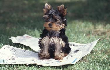 chiot yorkshire sur un journal