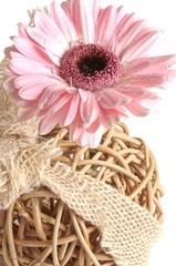 Rosa Gerbera Blüte