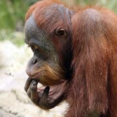 Meditating orangutan