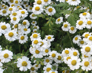 On a photo camomiles daisywheels