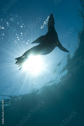 California sea lion (Zalophus californianus) - 9237909