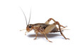 Brown cricket isolated on white - 9239157