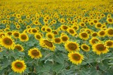 Endless fields of sunflowers poster