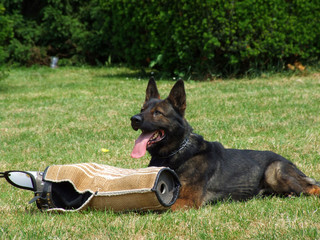 Training of a dog for protection and defence against criminals