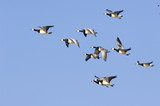 Flying barnacle geese