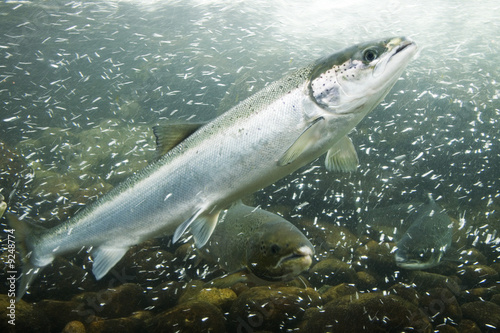 Atlantic Salmons in a river