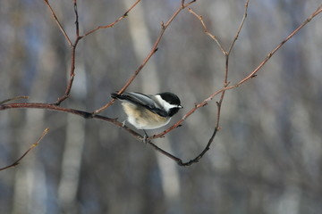 chickadee in the woods northern canada