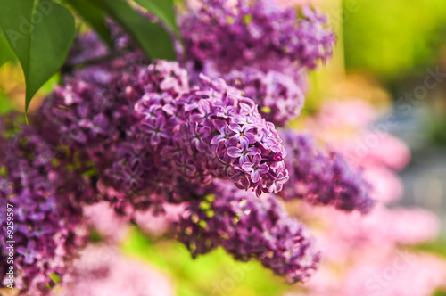 Abundant flowers of purple lilac blooming in late spring